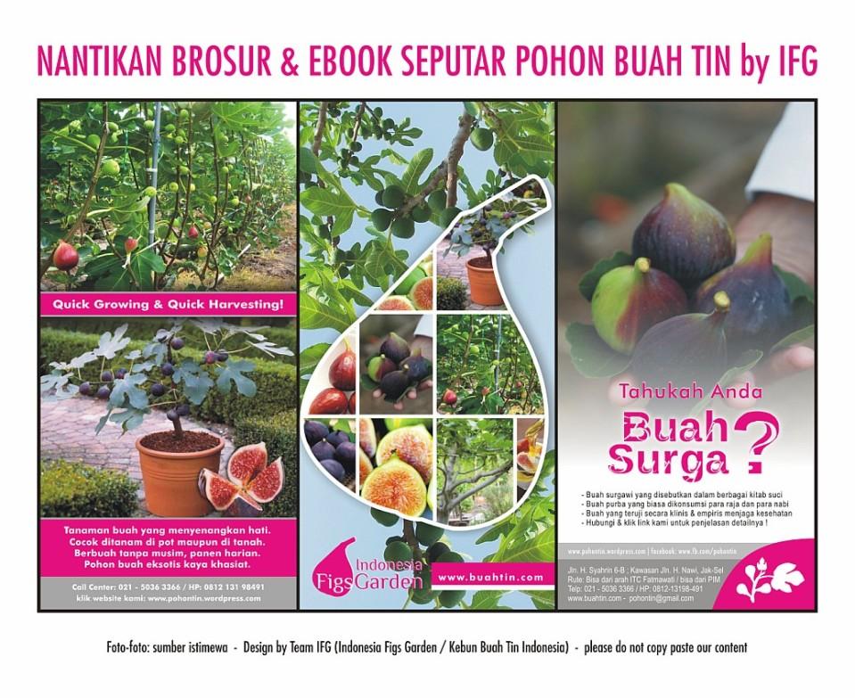 Galeri Pohon Buah Tin Di Indonesia Budidaya Buah Tin Di