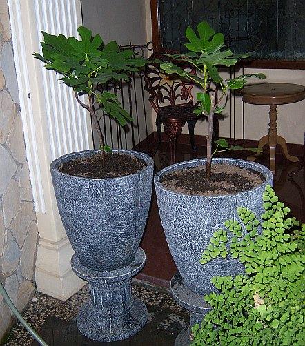 Klien embun florist dengan pohon tin ara figs 2