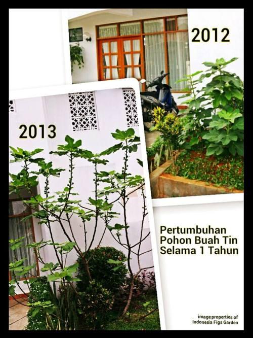 Pertumbuhan Dahsyat Pohon Buah Tin