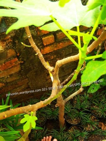 Gambar Pohon Tin