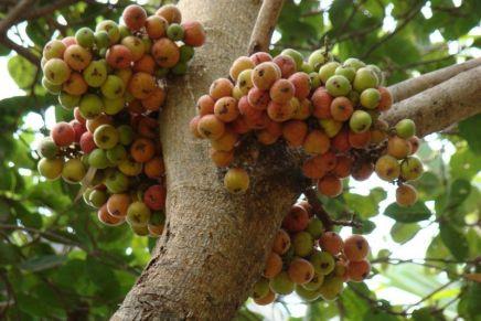 Pohon Tin Dan Buah Tin