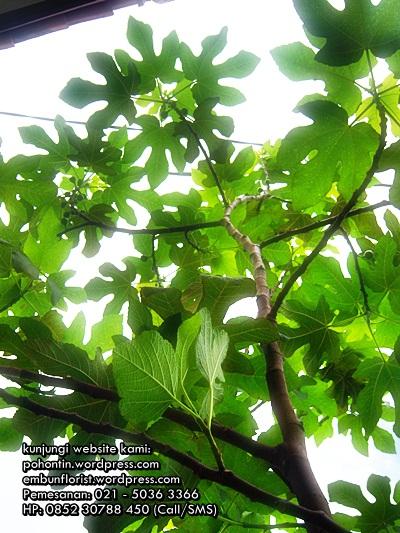 Pohon-tin-buah-tin-02150363366