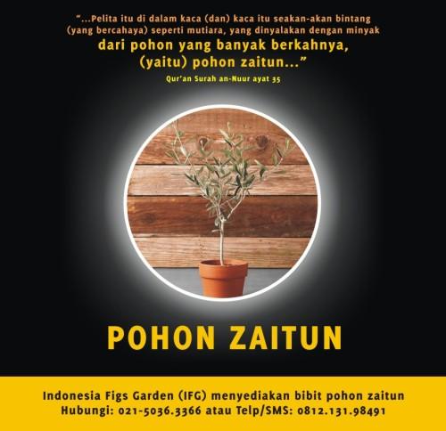 Jual Bibit Zaitun 081213198491